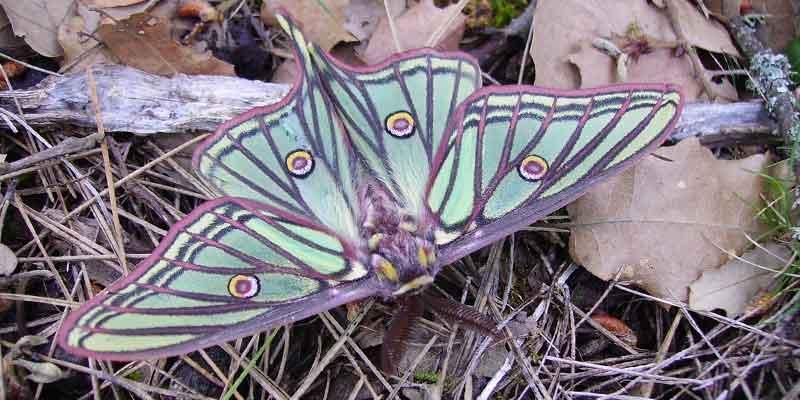 Centro de Cría de la Mariposa Isabelina